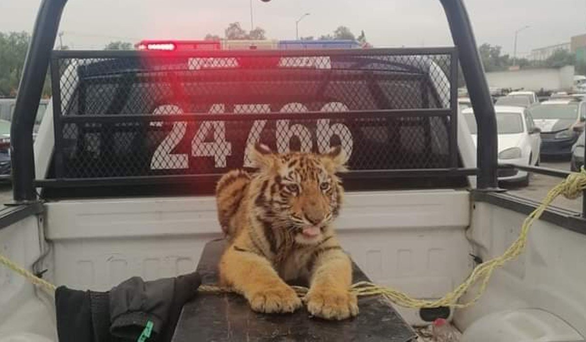 Autoridades capturan tigre de bengala en calles de Cuautitlán Izcalli; deambulaba desorientado