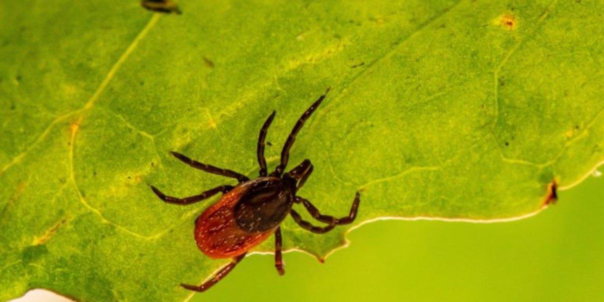 Japón alerta por nuevo virus 'Yezo'; lo transmiten las picaduras de garrapatas