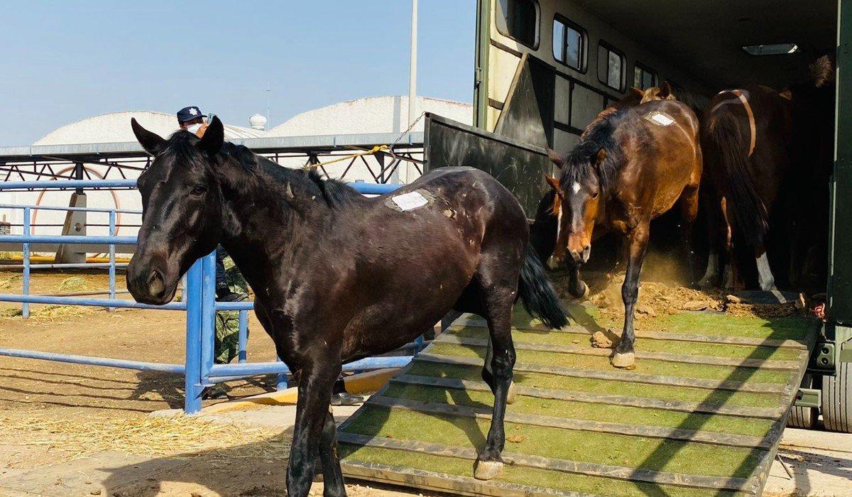 Birmex inicia producción de suero de caballo para atender a pacientes con COVID-19